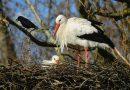 Las cigüeñas han cambiado su tradicional invernación en África por España